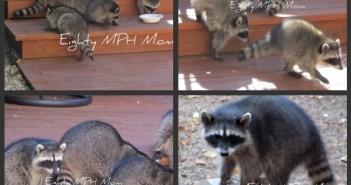 raccoons,raccoons in backyard