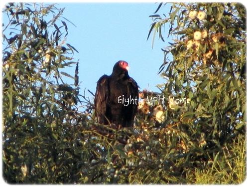 turkey vulture vs hawk, where are turkey vultures
