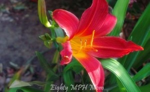 Red and Yellow Daylily