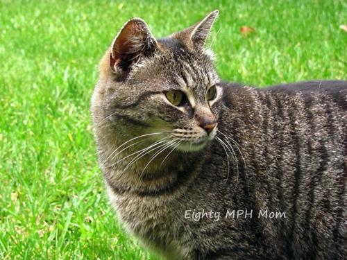 striped-cat
