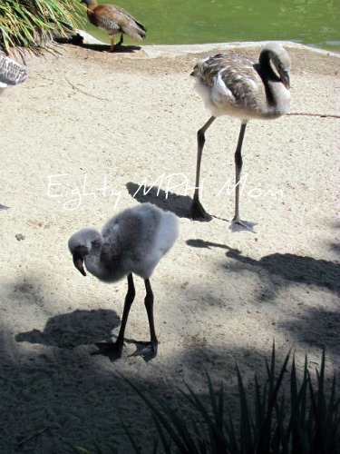 what-color-are-baby-flamingos,San Diego Zoo,grey flamingo