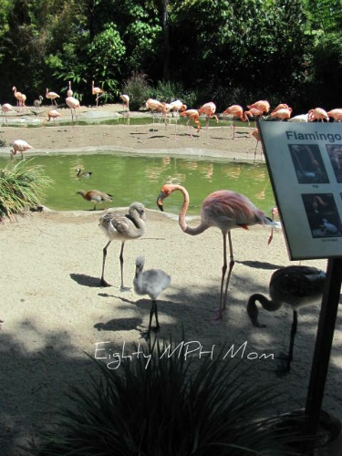flamingo chicks,baby,San Diego Zoo