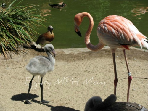 baby flamingo,san diego zoo,grey flamingo