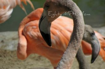 Flamingo babies at the San Diego Zoo!