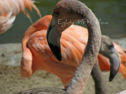 flamingos,chicks,babies,grey,san diego zoo
