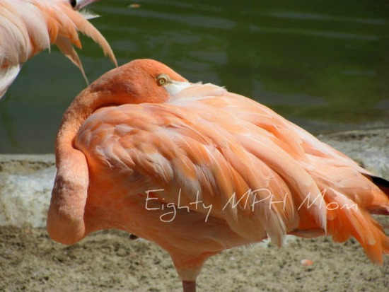 sleeping flamingo,one leg,San Diego Zoo