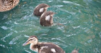 ducklings diving