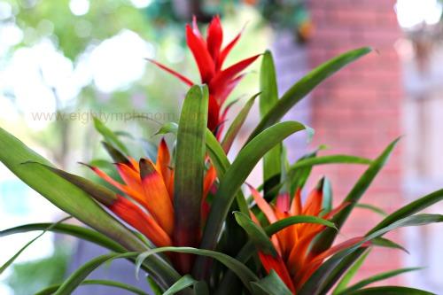 orange,Bromeliad plant,tropical
