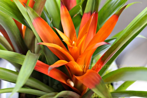 Bromeliad,ProFlowers,Tropical,plants