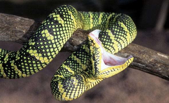 fangs-retractable-temple-viper