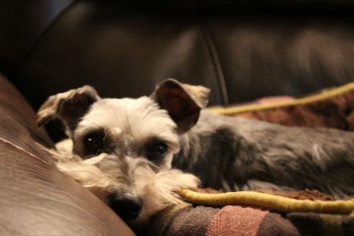 Pippa,schnauzer, rescue,puppy mill,hearts united for animals