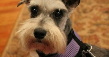 hearts united for animals,schnauzer,puppy mill,rescue,