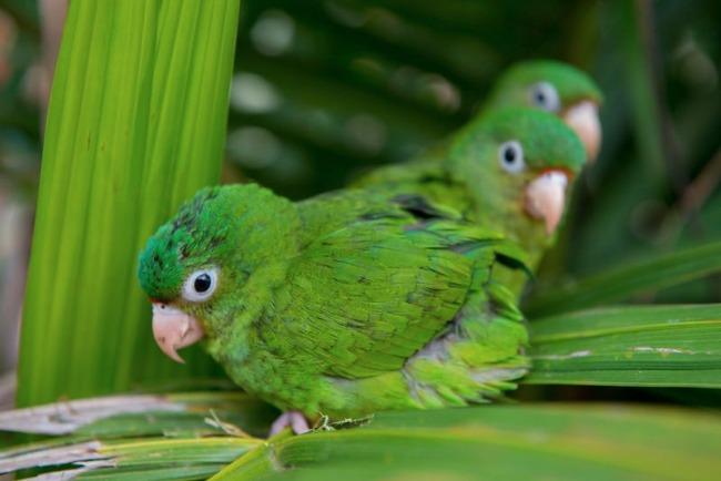 green birds, amazon